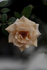 秋色のバラ