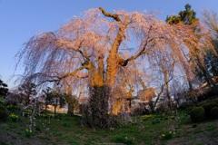 夕日を浴びる枝垂桜