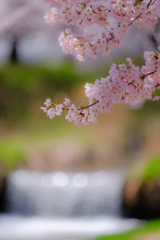 黒沢川の桜