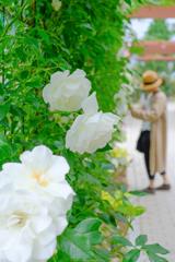 さわやかな白薔薇