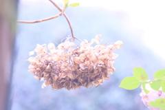 今、紫陽花。