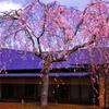 祥雲閣の枝垂れ桜