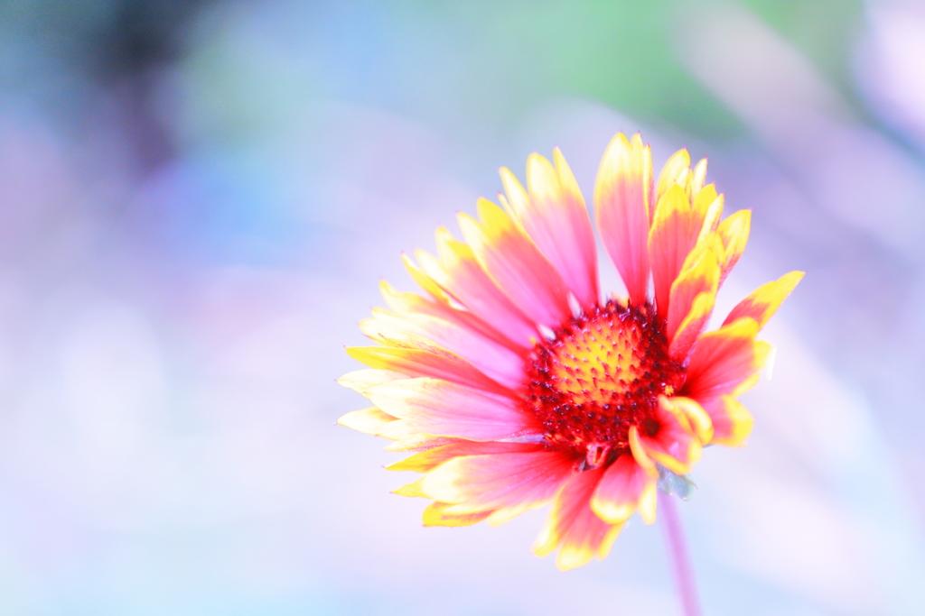 遊歩道に咲くテンニンギク