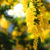 秘密の恋(Mimosa)