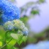 資福寺庭園のアジサイ