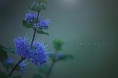 小さな花の声