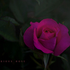 mysterious rose