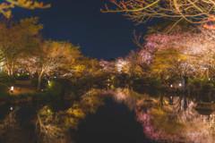 東寺の夜桜②
