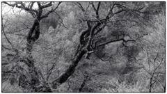 駒つなぎの桜の枝
