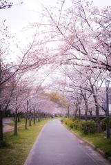 桜ノ宮の桜2.