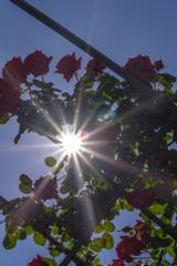 薔薇と光芒