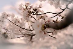 桜ノ宮の桜