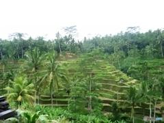 緑のジャングルの棚田1