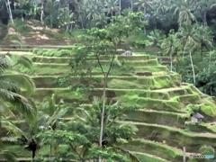 緑のジャングルの棚田2