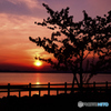 児島湖と河津桜