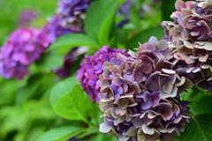 枯れ紫陽花(濃紫)