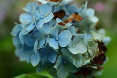 枯れ紫陽花(水色)