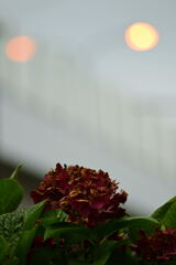 枯れ紫陽花(深赤紫)
