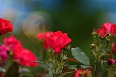 朱色の薔薇