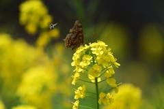 キタテハとミツバチ