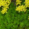 万年草の花