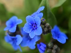 濃青色の花