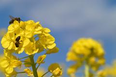 菜の花とミツバチ
