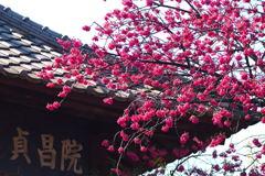 貞昌院の寒緋桜
