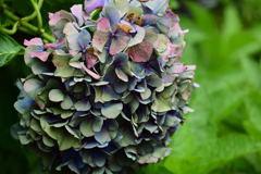 枯れ紫陽花(紫)