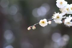 貞昌院の梅