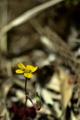 土手に咲く黄色い花