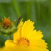 オオキンケイギクと昆虫