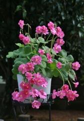 愛らしい花。。。 オキザリス