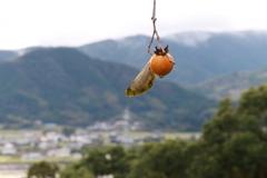 木守柿のある風景