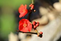 木瓜の花②