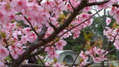 桜と石橋(縮景園)
