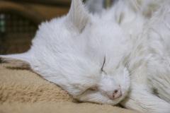 Viejo gato blanco