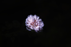 浮かび上がるバラ