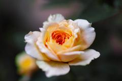 薔薇を撮りましたⅡ