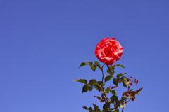 青空と赤いバラ
