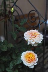 薔薇を撮りましたⅤ