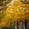 北海道大学イチョウ並木2