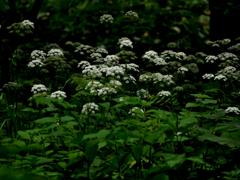 エゾニュウ・・・北の怪植物