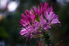 Flowers blooming in the rain(Cleome)
