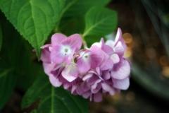 草陰の紫陽花