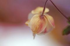 雪景色に浮かぶ秋明菊