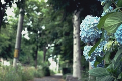 Promenade of  Hydrangea and White Birch