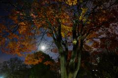 月夜に凍える黄葉