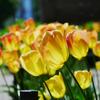 遅咲きのチューリップ