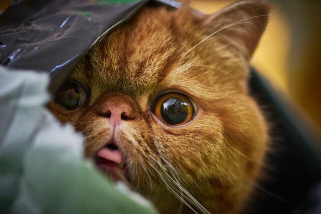 ミックス(猫)